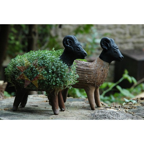 Mexico Grow Your Own - sheep